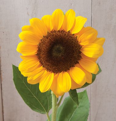 """Vincent®s Choice: (F1) Sunflower Seed. Round, overlapping petals form sturdy flower heads that hold up well during transport. Also known as common sunflower and annual sunflower. Pollenless. Day-length neutral variety, allowing for the season to extend into early spring and late fall. Ht. 48-60"""". Avg. 500 seeds/oz. Packet: 50 seeds."""