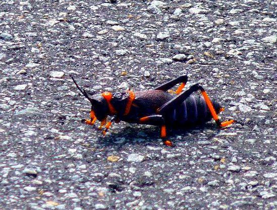 Locust - West Coast National Park