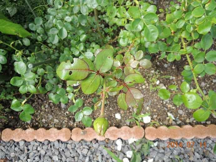 ボード 薔薇の枝 のピン