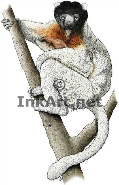 Full color illustration of a Sifaka Lemur (Propithecus verreauxi)