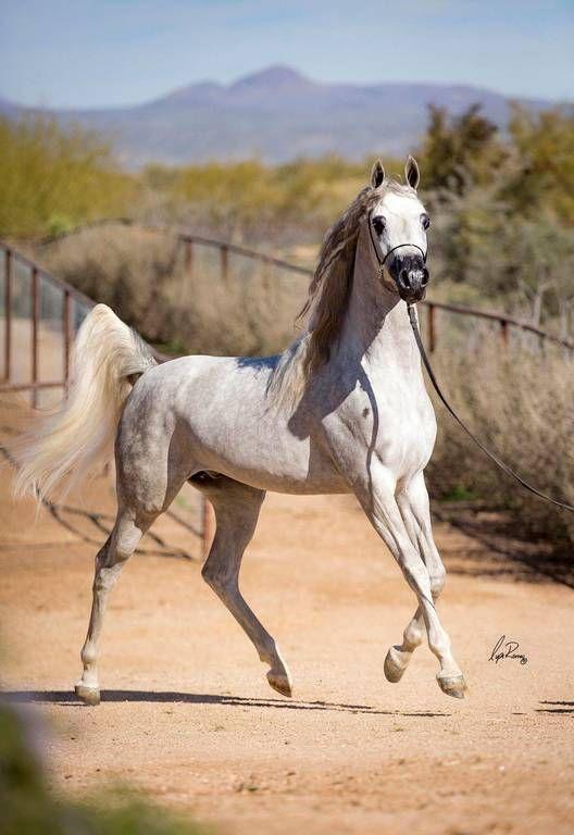 Khalif SWF :: Arabian Horses of Stonewall Farm