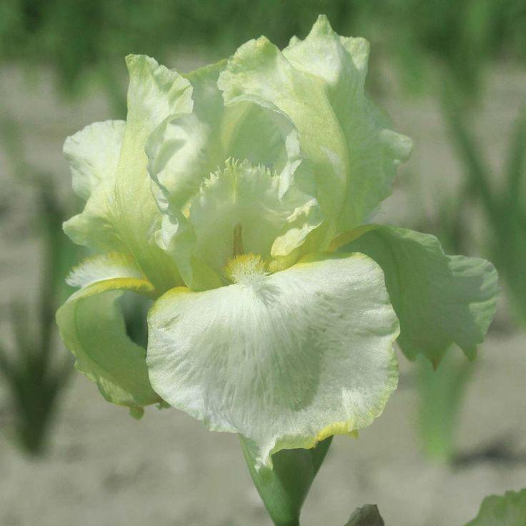 1000+ Ideas About Irises On Pinterest