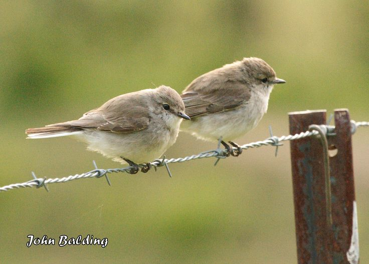 A pair of Jacky Winters at Glen Davis, in the Capertee valley, NSW