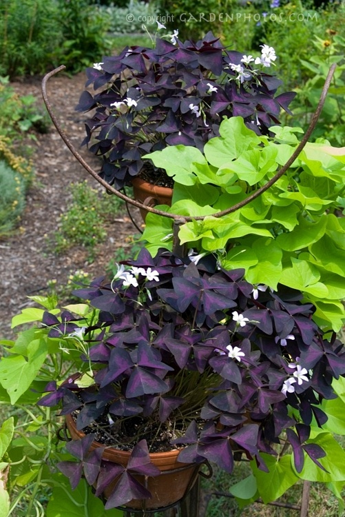 I have some of these purple shamrocks in my front yard for No maintenance garden plants