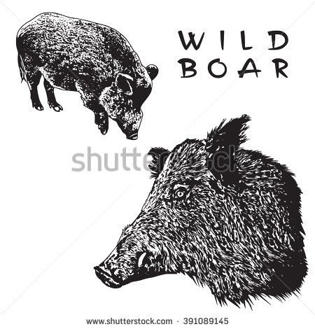 Wild Boar. Black and white image in engraving style.