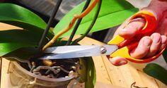 Comment tailler le phalaenopsis pour qu'il reparte ? Les conseils pour une longue floraison.