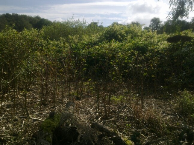 Japanese knotweed patch test treated. Central part treated and its working well completed by dp weed and pest control The japanese knotweed specialists