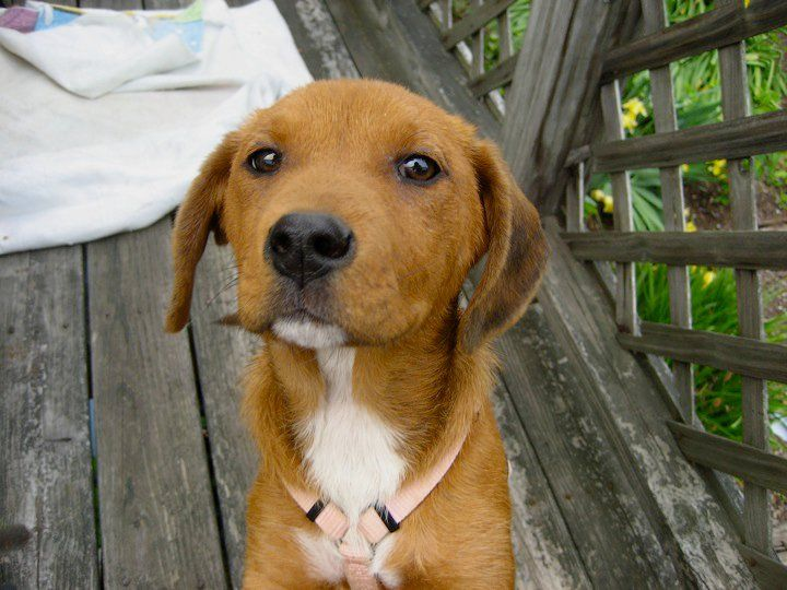 redbone coonhound phot...