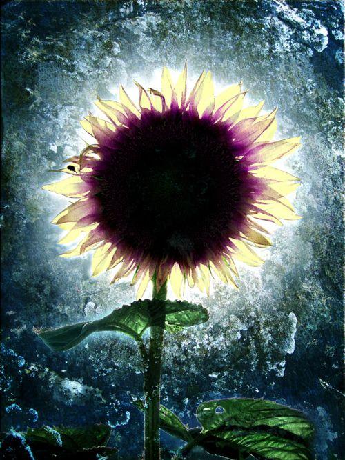 moonflower: Photos, Art Flowers Photography, Inspiration, Beautiful, Girasoles Sunflowers Pretty, Things, Unusual Sunflowers, Garden, Sunflowers Girasols
