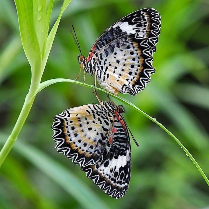 Twins: Beautiful Butterflies, Photos Hiding, Beautiful Inspiration, Amazing Photography, Butterflies Dragonfly, Butterflies Gardens, Butterflies And, Butterflies Moth, Butterflies Hiding