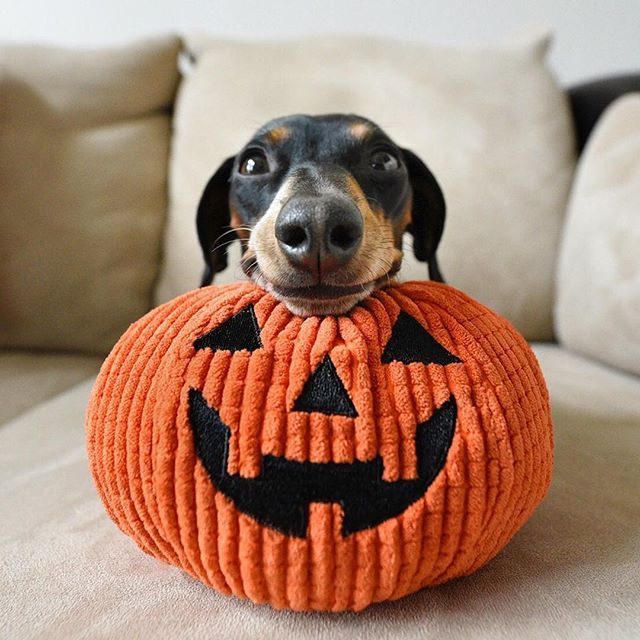 Happy Dogtober!  << Do I pin this to my fall or dog board? Fall I guess....