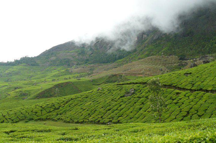 Beautiful India - Munnar Tea Gardens