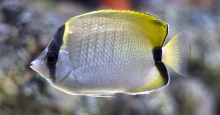 Faça você mesmo: Iluminação para seu aquário. Você tem um aquário, alguns corais falsos e um monte de peixes legais. O que está faltando? Luzes de aquário. Uma boa iluminação pode ser uma adição brilhante para qualquer aquário, acrescentando definição e interesse, ao mesmo tempo em que chama a atenção para o seu novo tanque, ou traz o seu tanque velho à vida. Você só precisará de coisas que ...