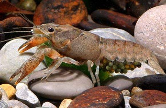 Procambarus cubensis cubensis, Kubakrebs