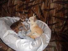 Chihuahua maschi e femmine pelo lungo e... a Milano - Kijiji: Annunci di eBay