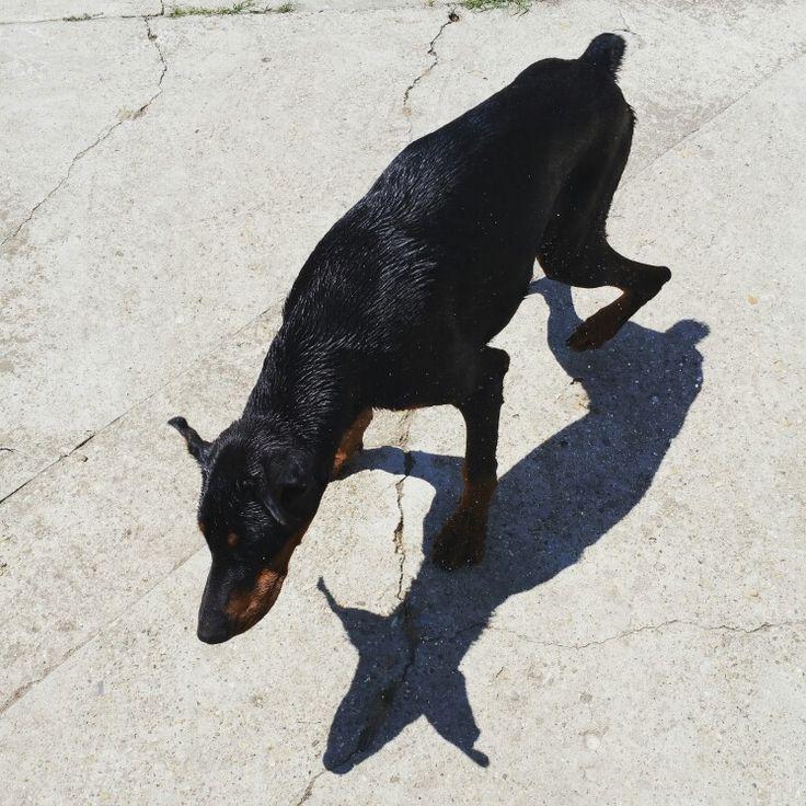 Odin #doberman #odin #szeged #hungary #suncity #mydog