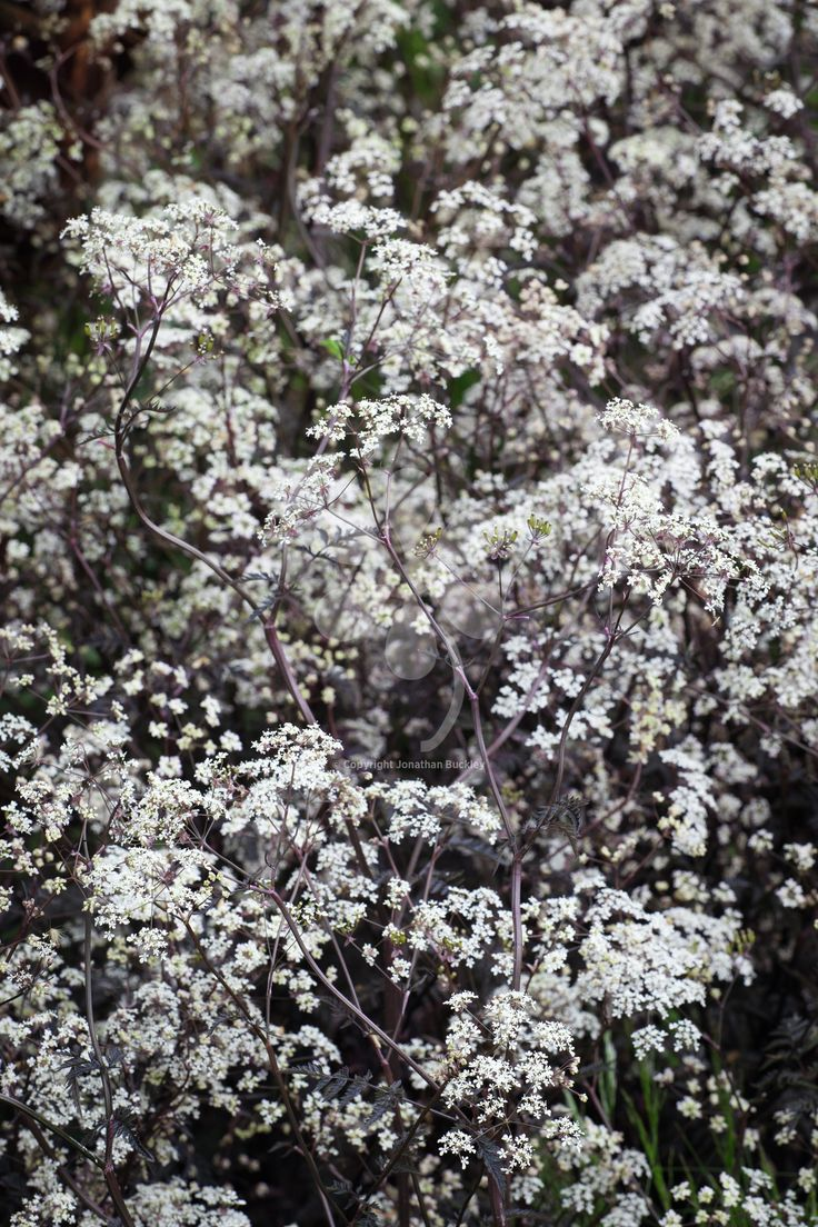 Crimson-black leaved cow parsley, lovely for your spring garden and for arrangements. These annual flowers are ideal for picking. Keep cutting them and they will produce fantastic flowers for you to have in vases all over the house.