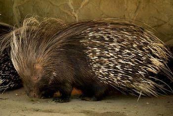 Zoobotanico Jerez :: PUERCOESPÍN SUDAFRICANO