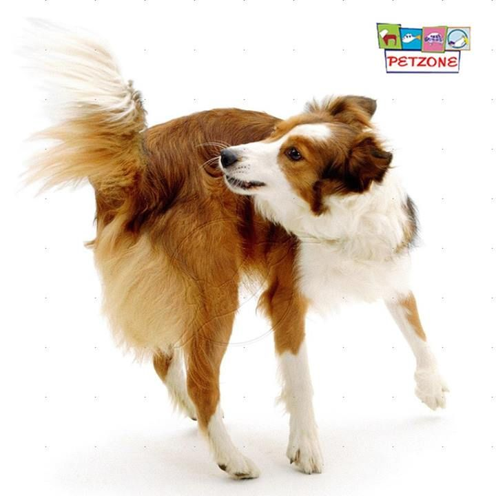 """#Petzone Tips!  """"Chase that tail!""""  Dogs chase their tails for a variety of reasons: curiosity, exercise, anxiety, predatory instinct or, they might have fleas! If your dog is chasing his tail excessively, talk with your vet."""