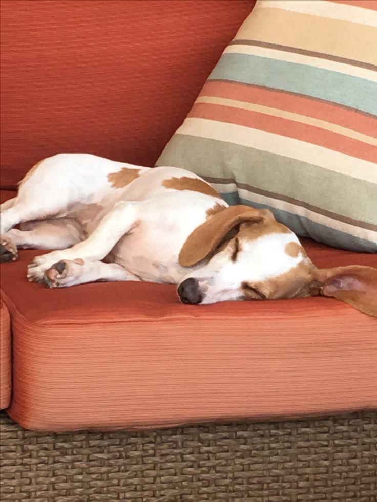 Resting piebald dachshund