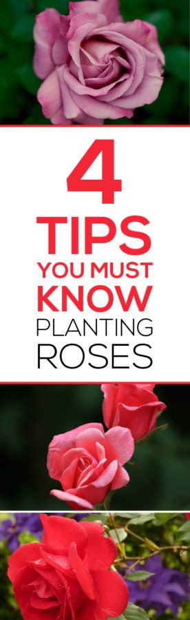 Get BEAUTIFUL roses each year!  Read 4 Tips you MUST Know Before Planting Roses