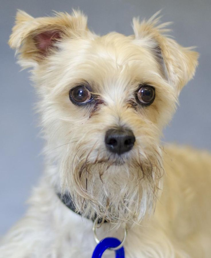 Adopt aj id 148132187 on terrier poodle mix poodle
