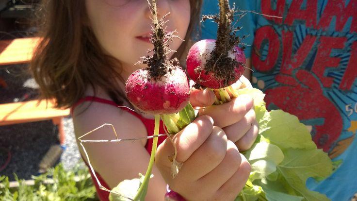 Reddikene jeg sådde i vår har forsynt oss med små smakebiter gjennom hele mai, men nåer de nesten overmodne, så i dag høstet vi resten.Barna syns det er gøy å høste grønsaker som de har vært med ...