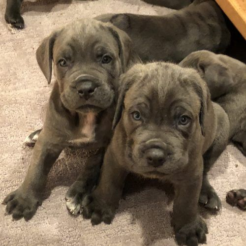 [11+] Cane Corso Puppies For Sale