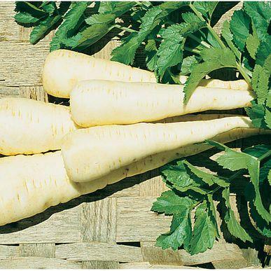 Lancer Parsnip Seeds (Pastinaca sativa) + FREE Bonus 6 Variety Seed Pack - a $30 Value!