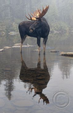 Moose reflections. Photo: Mark Picard.