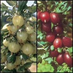 Gooseberry Assortment  Includes two plants — Hinnonmaki red and Invicta green.