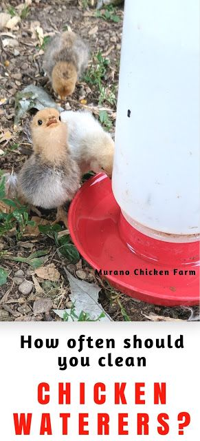 How often should you clean chicken waterers? If your chickens water container has a slimy film in the bottom or on the inside, then you're not cleaning it enough. The coating inside a poultry waterer is called biofilm and it contains lots of bacteria that can make your chickens sick.