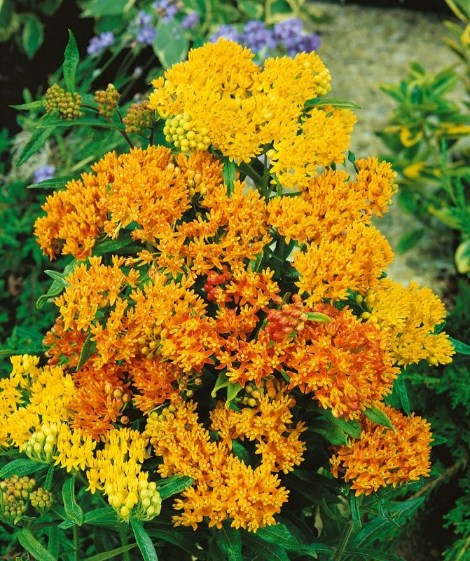 Flower Garden For Dummies: Grower Select: Butterfly Weed Tree