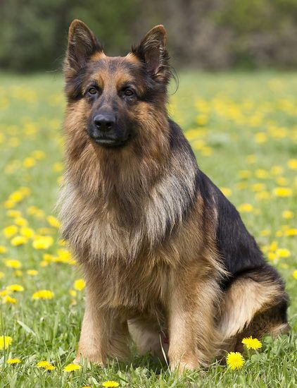 such a perfect dog #german #shepherd