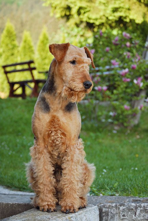 fox terrier haircut 17 best images about haircuts for hank on 6021