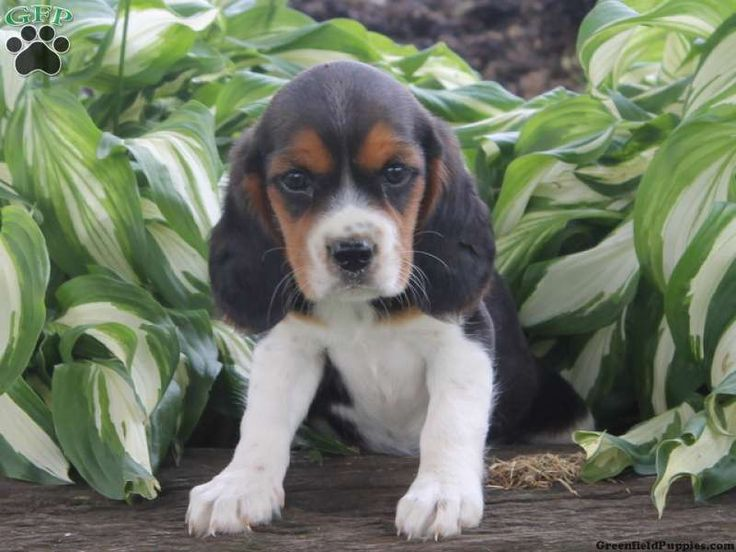 Beauty, Beaglier puppy for sale in Quarryville, Pa