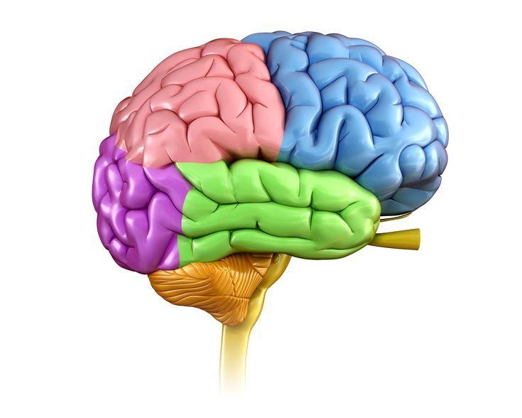 Basic anatomy of the brain