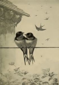 Vintage Bird Illustration - Swallows - grafficalmuse.com