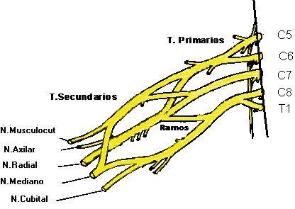 PLEXO BRAQUIAL Este plexo nervioso está formado por las ramas anteriores de los nervios de C5, C6, C7, C8 y T1. Distinguimos 5 nervios terminales, que inervarán estructuras braquiales. Las ramas colaterales se dirigirán a la cintura escapular y a otros músculos circundantes.