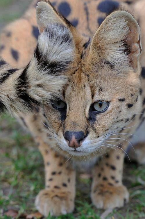 beautiful savannah cat     i want one