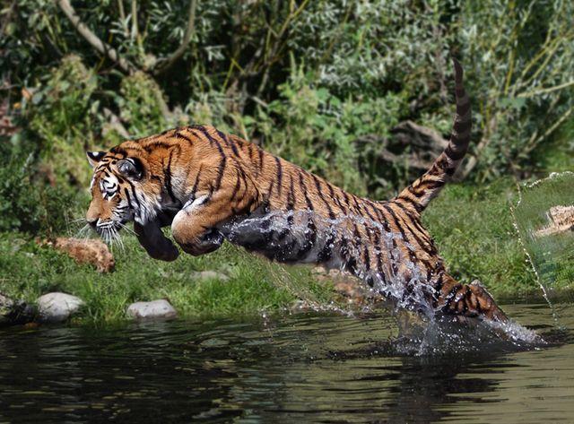 Tiger that mauled three teens at San Francisco Zoo