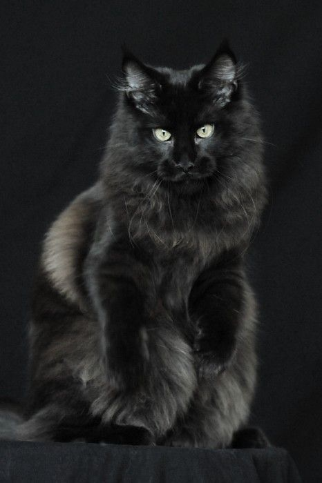 Black Maine Coon cat   The Fifth Watches // Minimal meets classic design: www.thefifthwatches.com