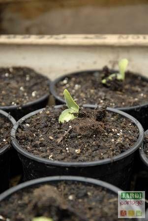 """Une fausse allure de pastèque, une chair filandreuse un peu comme sa cousine la """"courge spaghetti""""... La courge de Siam ou courge cheveux d'ange est méconnue en France. Elle mérite cependant un peu de reconnaissance, ne serait-ce que pour la longue conservation de ses fruits (2 ans). Découvrez cette plante, sa culture et comment consommer cette (délicieuse) courge. http://www.jardipartage.fr/courge-de-siam/"""