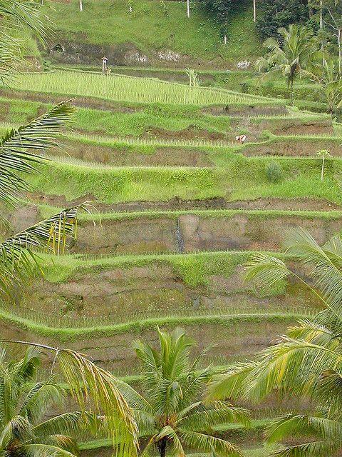 Ubud Rice fields | Flickr - Photo Sharing!