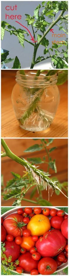 How to Grow Tomatoes Without Seeds /ashkh/ lets do this in your garden bed from my plants