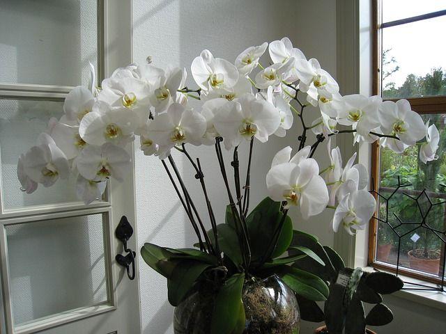 Ce este necesar să puneți în ghiveciul cu orhidee pentru a crește mare și pentru a înflori frumos? Fertilizarea orhideelor este o etapa esentiala in menti