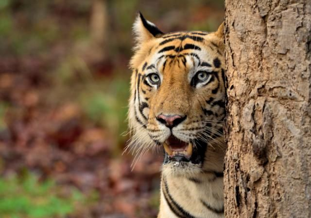 How to Visit Bandhavgarh National Park (and Hopefully See a Tiger): Tiger at Bandhavgarh National Park.