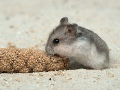 aww Chinese Dwarf Hamster--had one of these little guys for a number of years as a kid and they actually make pretty good pets :). They are different than Russian Dwarf hamsters and easier to tame (speak from experience as I've had both kinds)
