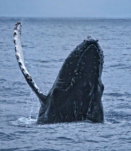 whale watching california best time | Whale Watching Season Begins