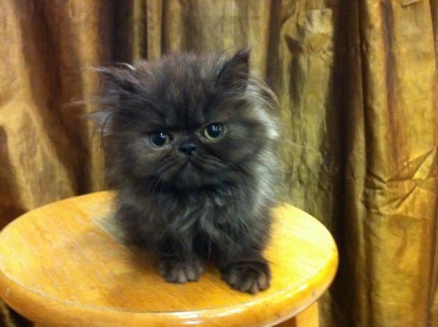 Google Image Result for http://images01.olx.com.my/ui/18/50/68/1330332852_323434268_1-Flat-Face-Persian-Kitten-Cat-Bicolor-Black-White-Cheras.jpg